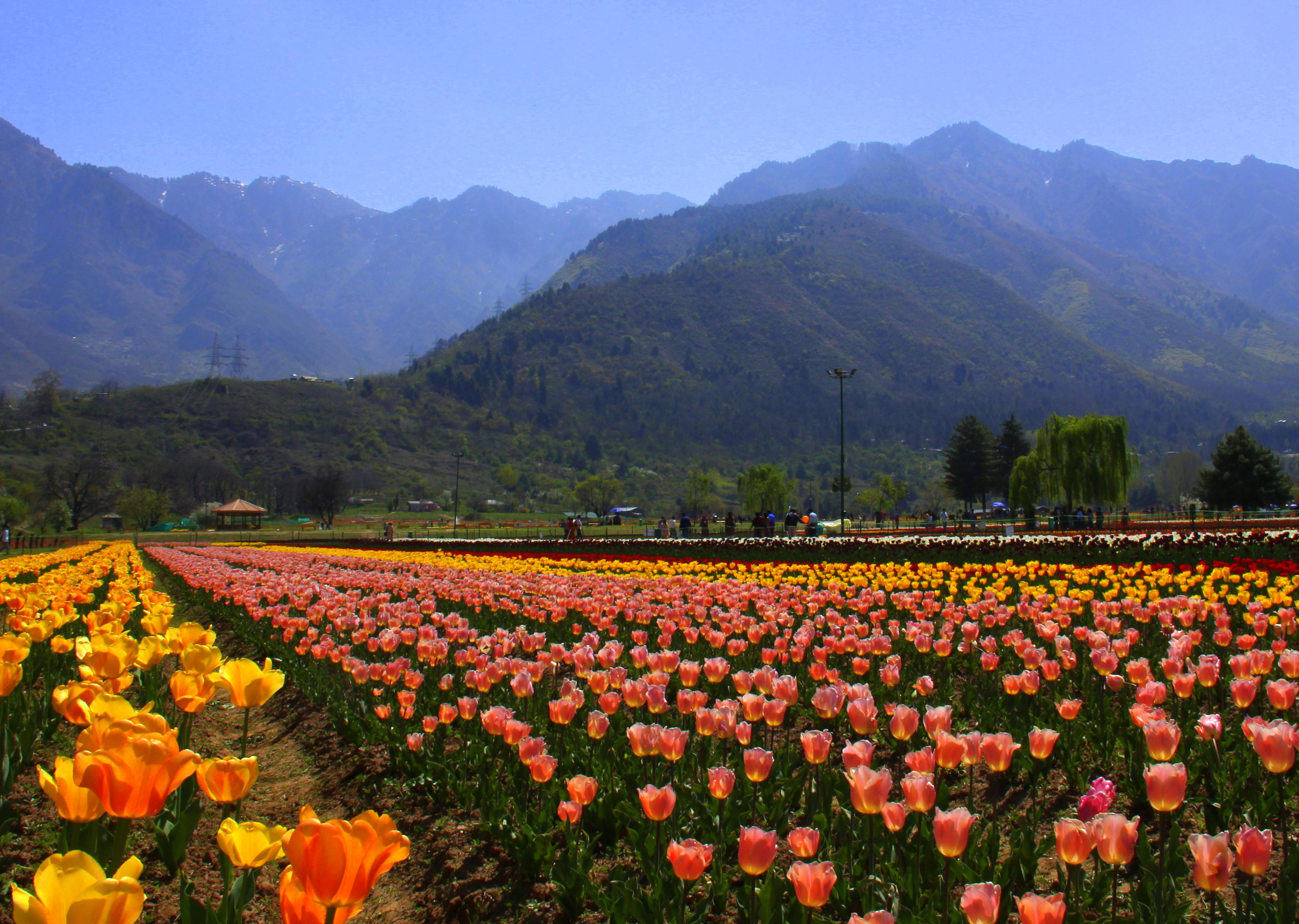 Zabarwan Range is visible as a backdrop to the srinagar tulip festival