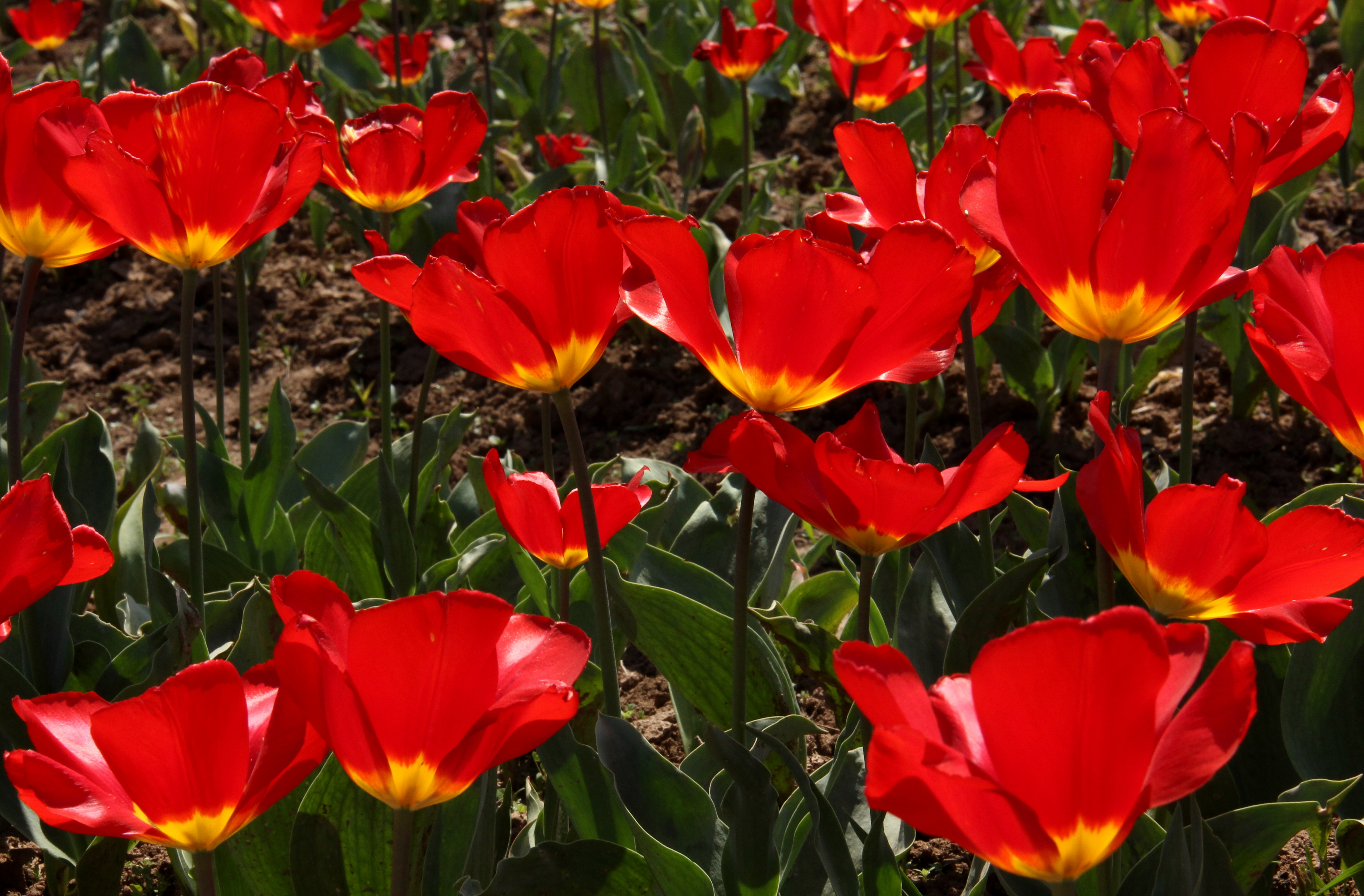 there are hundreds of varieties at srinagar tulip festival