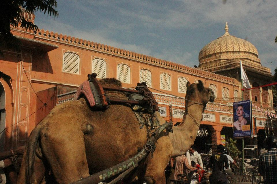 The camel traffic is fun to watch in jaipur with kids