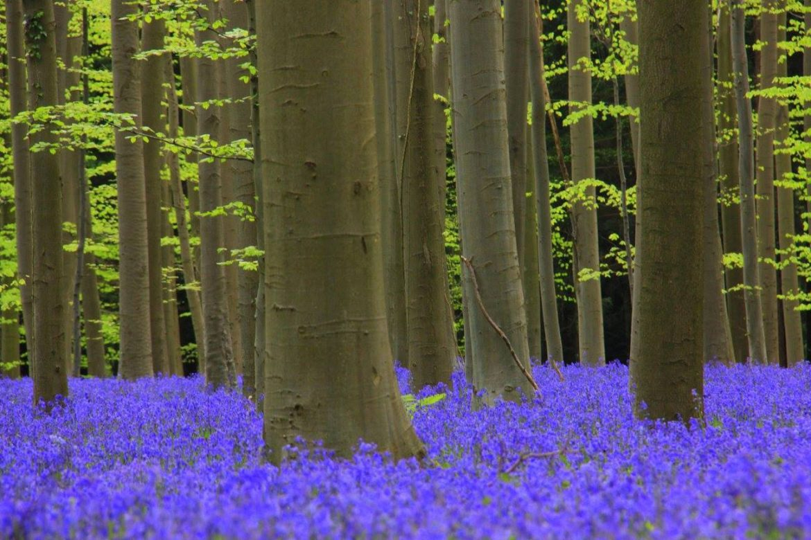 hallerbos blue forest is near brussels