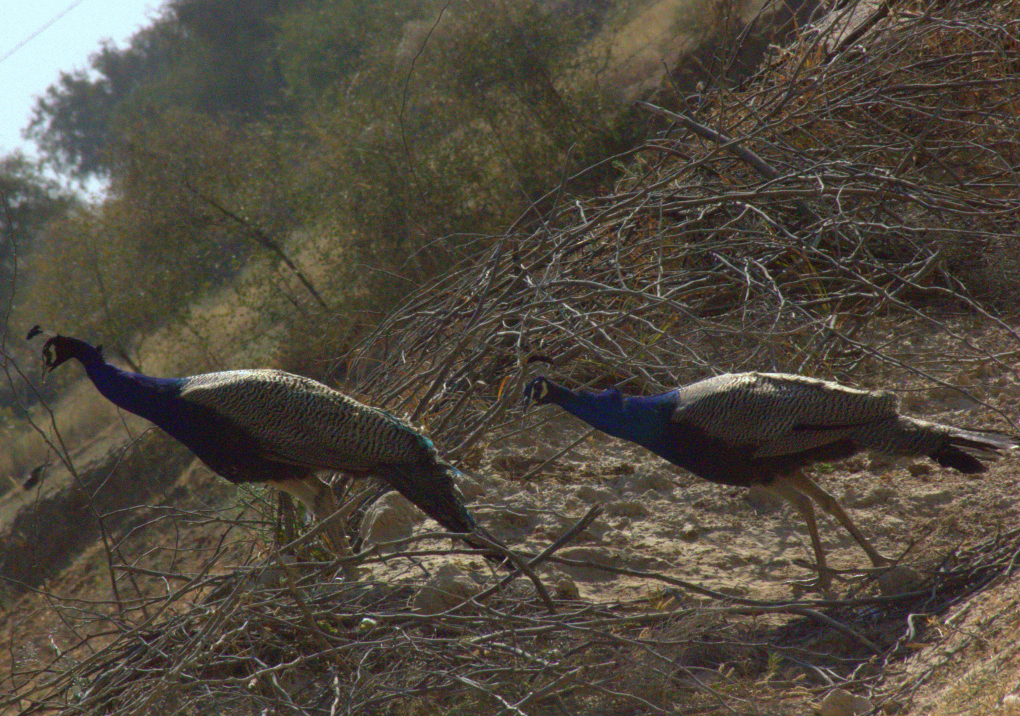Peacocks are a part of Rajasthan village culture