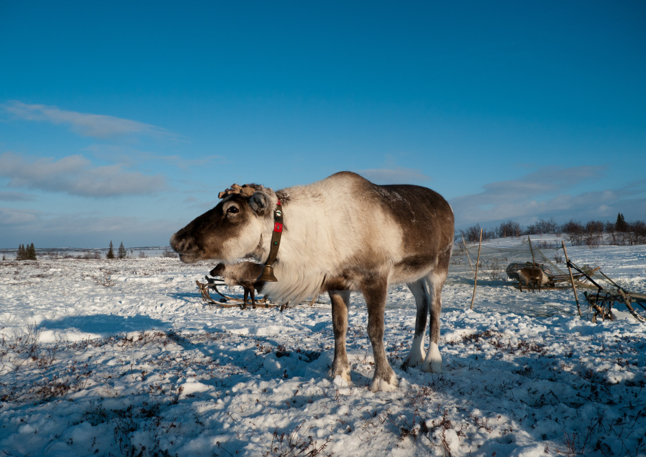 Reindeer herders and coast dwellers of Pomor village
