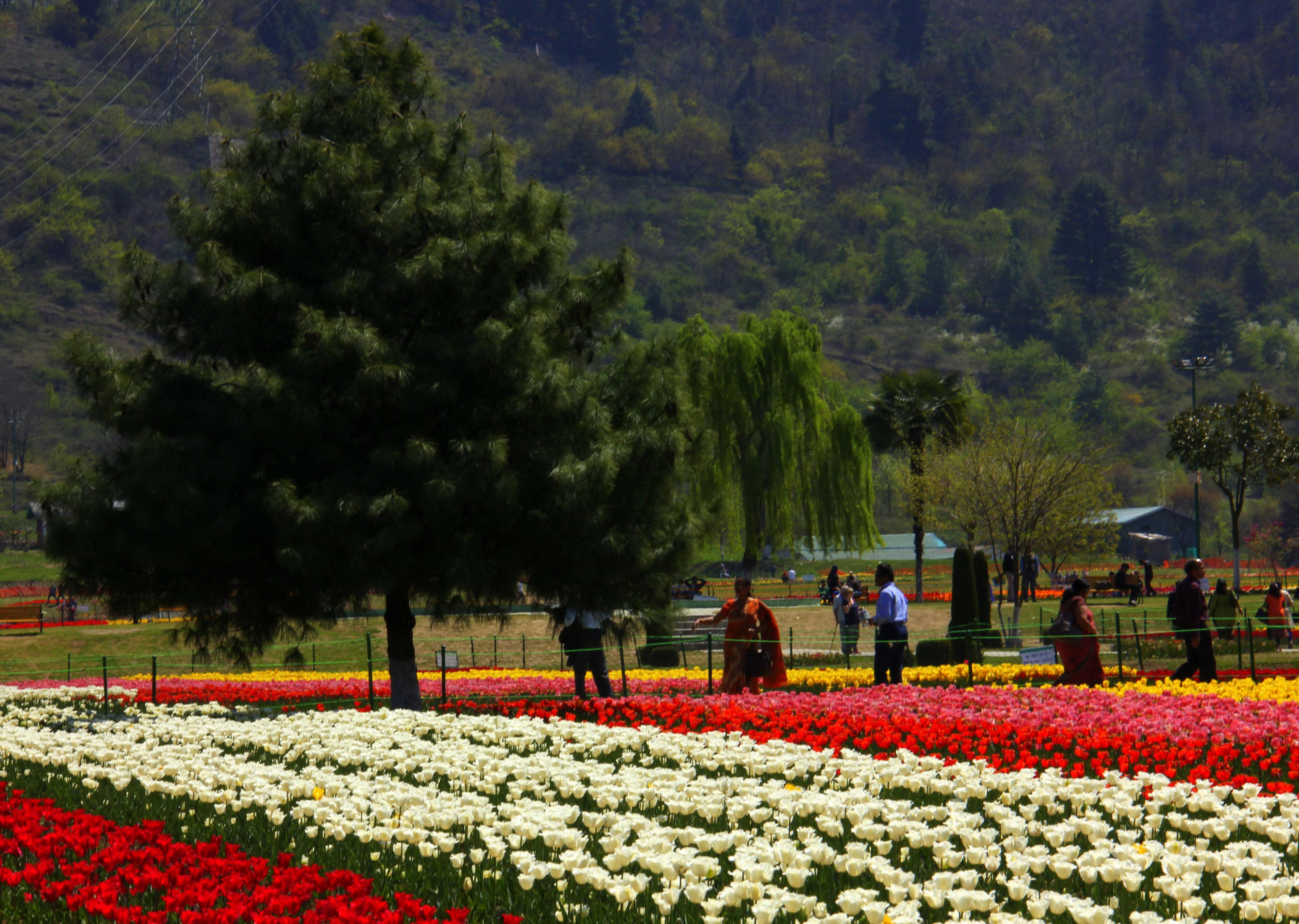 srinagar tulip festival is the biggest in asia