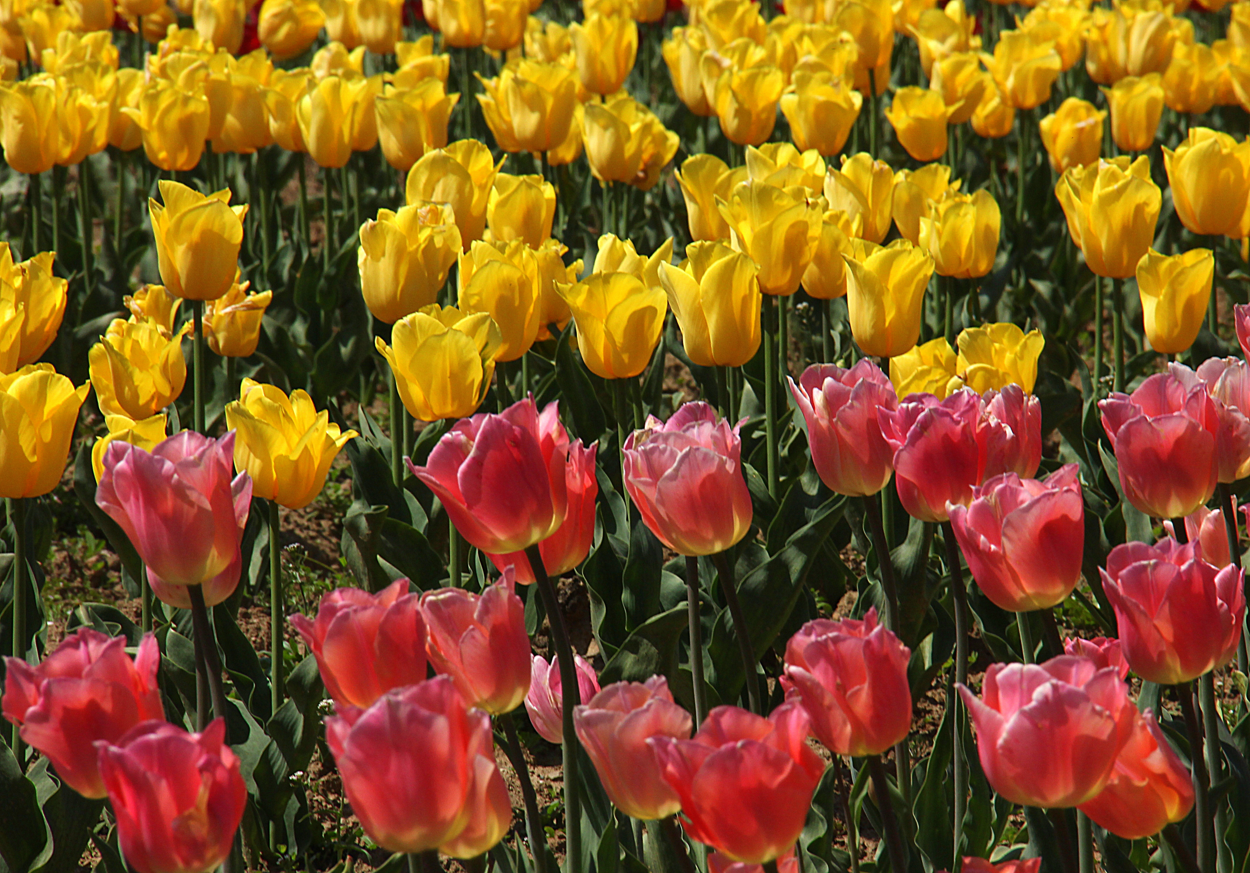 the yellow and pink flowers at srinagar tulip festival