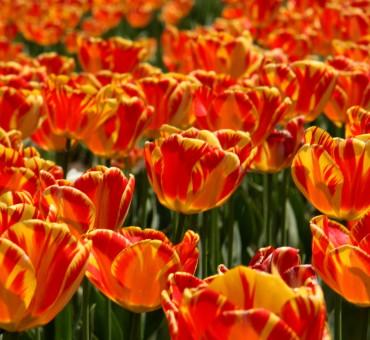 Flower power of Srinagar