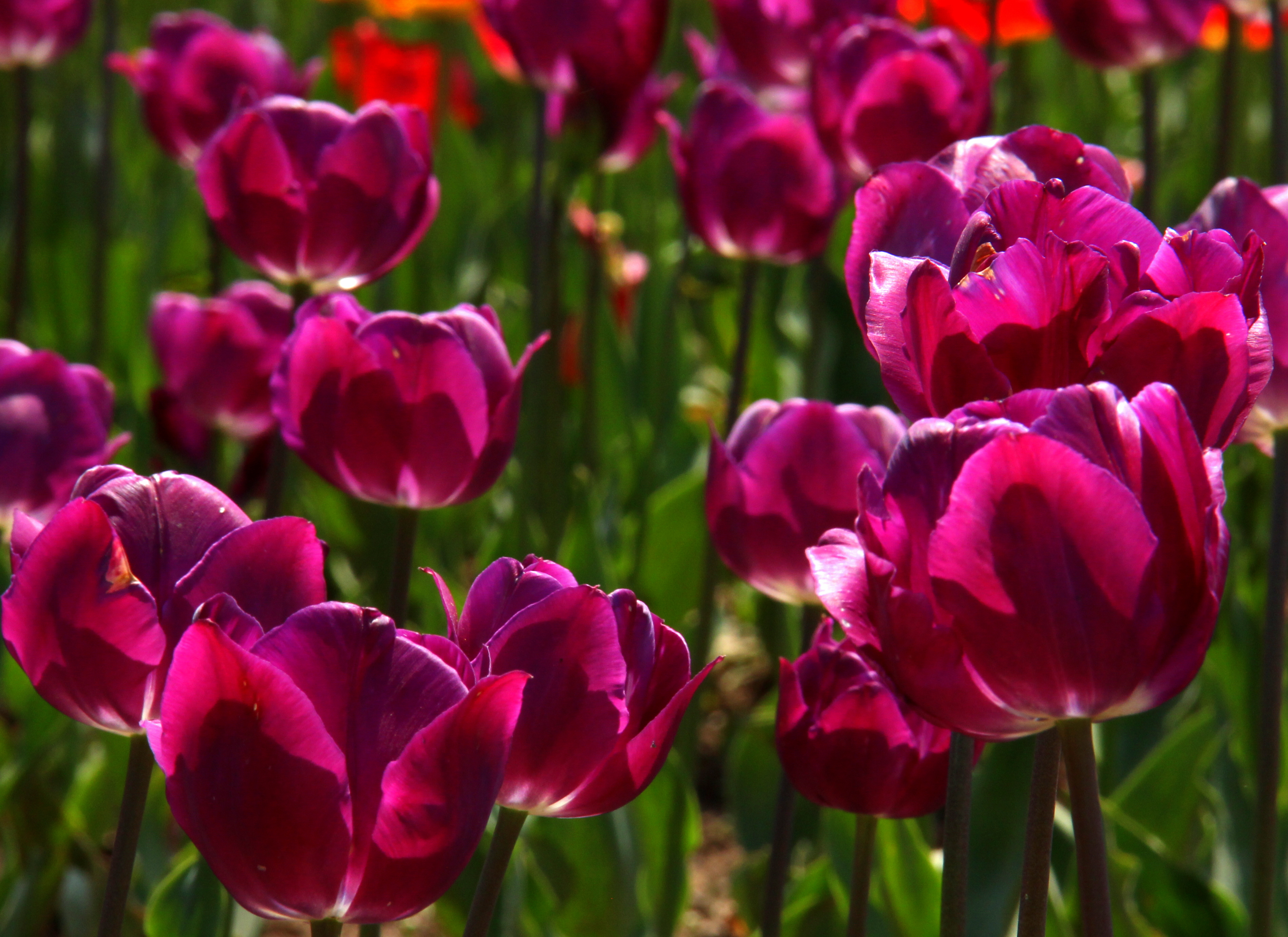 Purple tulip rows at Srinagar tulip festival