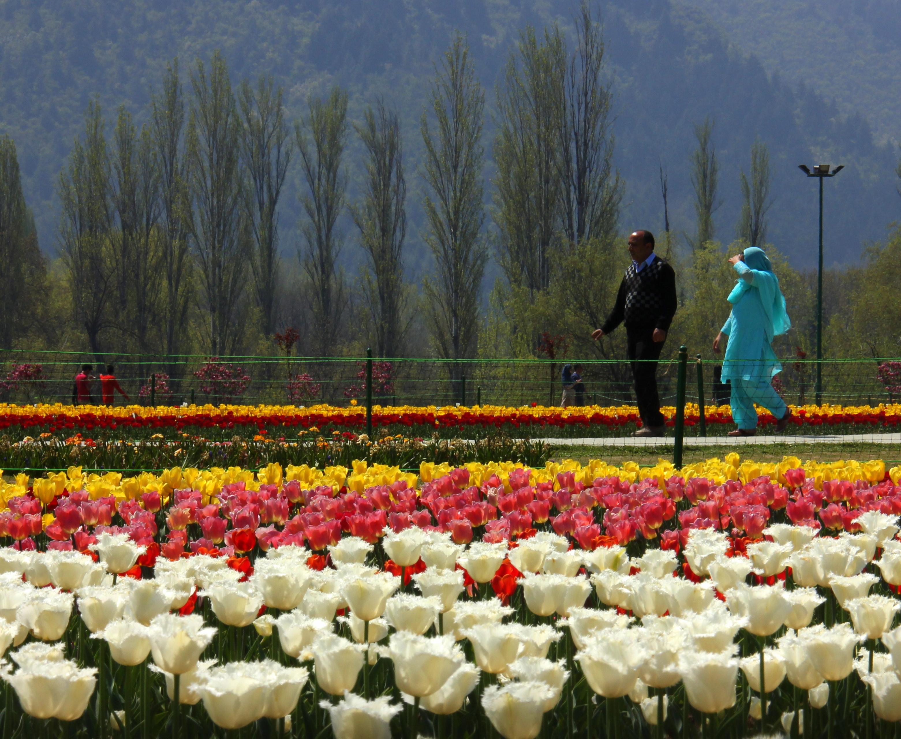 Srinagar tulip festival is best viewed in april