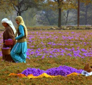 A saffron autumn in Pampore
