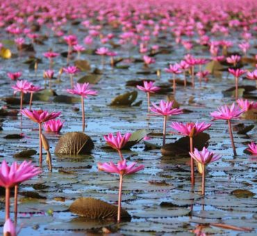 The Red Lotus Sea of Thailand