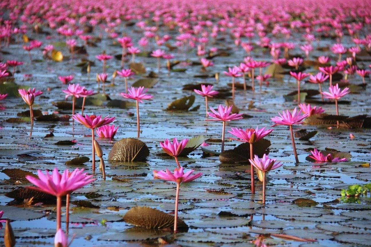 #travelbloggerindia #thailandtourism #udonthanitourism #redlotusea #talaybuadaeng