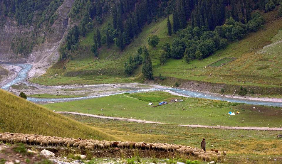gujjar herding sheep in gurez valley