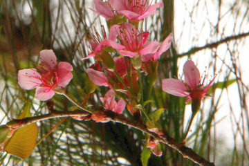 pink flowers of spring paint kodaikanal pink