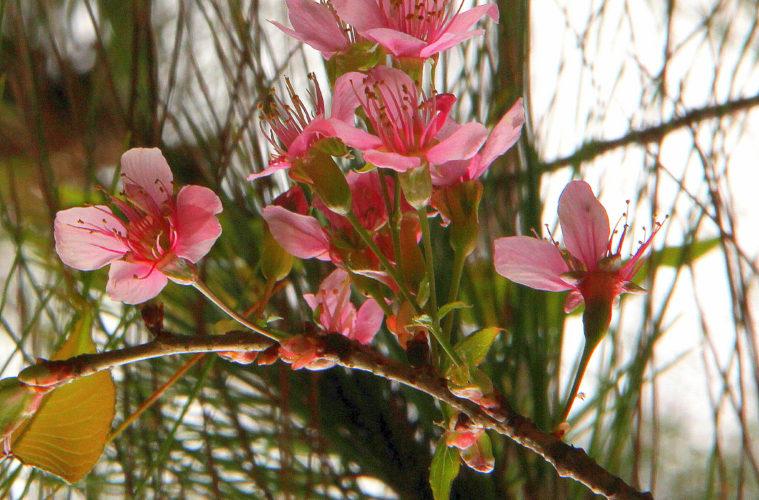 pink flowers of spring paint kodaikanal pink