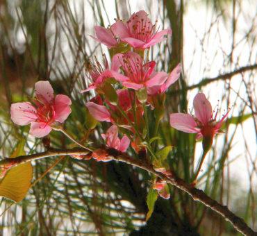 Painting Kodaikanal pink in spring