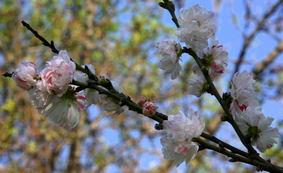 almond trees bloom in badamwari