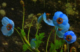 Blue poppies grow abundantly near Hemkund Sahib