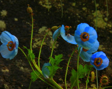 Blue poppies grow abundantly near Hemkund Sahib