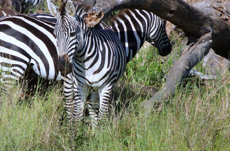 photos of Zebras used in ngorongoro conservation area guide
