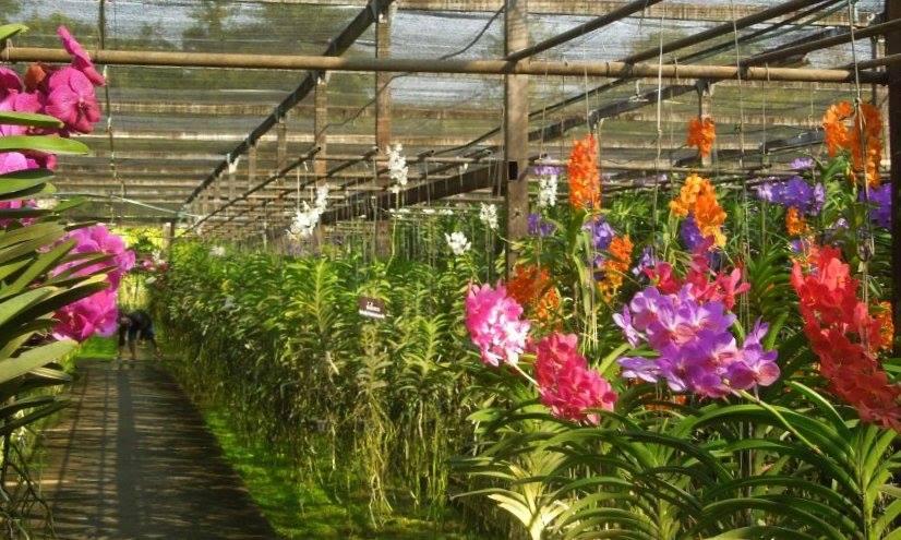 chiang mai orchid farm