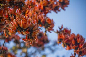 palash flowers of purulia in spring