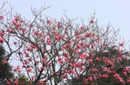 magnolias blooming in spring in okhrey