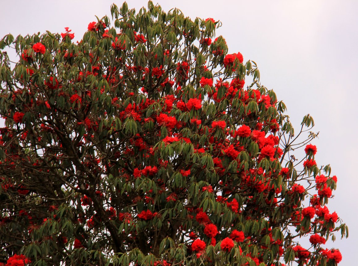 Red rhododendrons on our sikkim spring trip