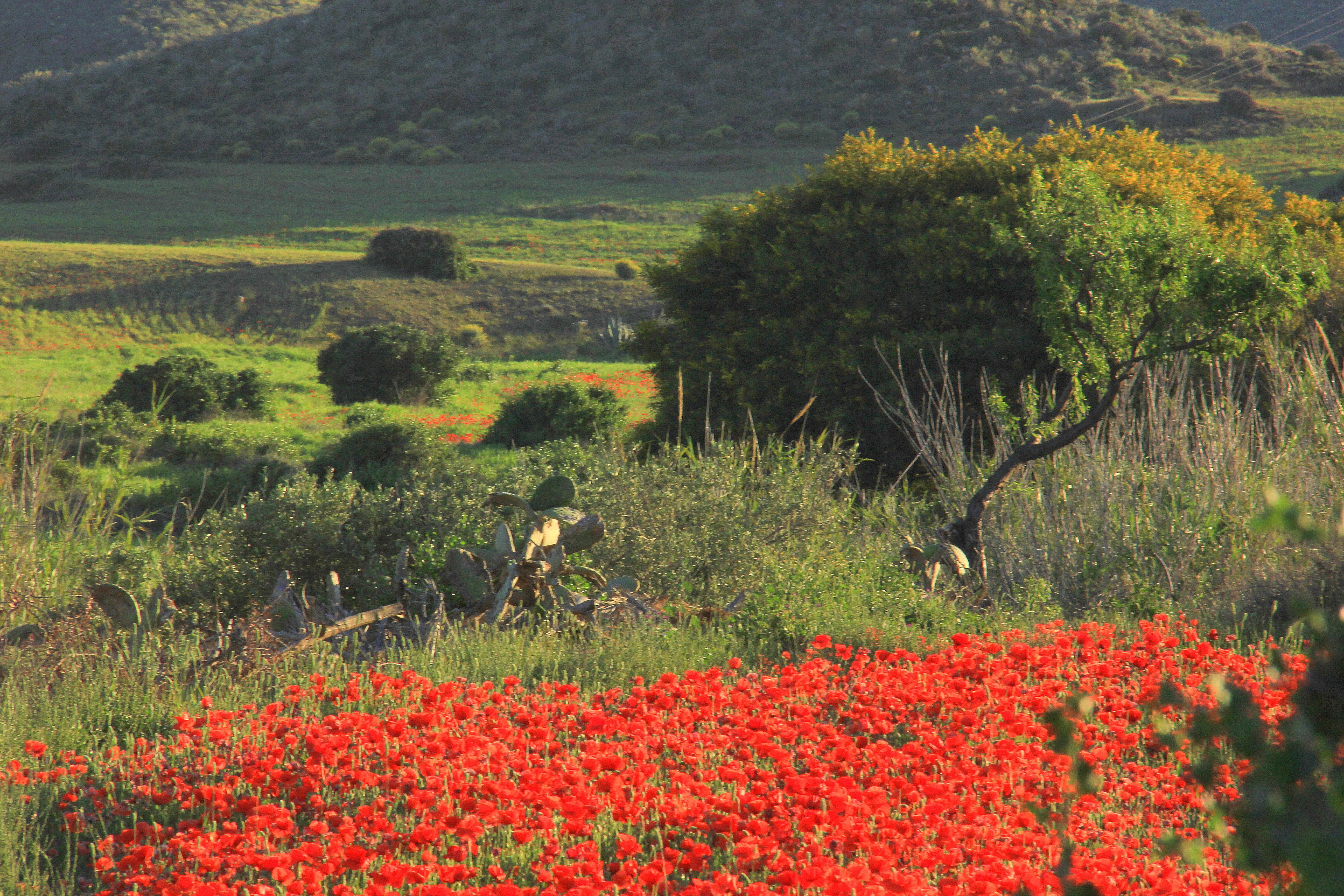 poppy fields on the way to almeria
