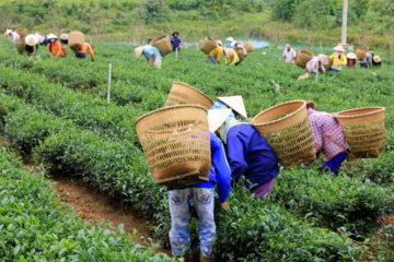 A tea garden in Central Vietnam