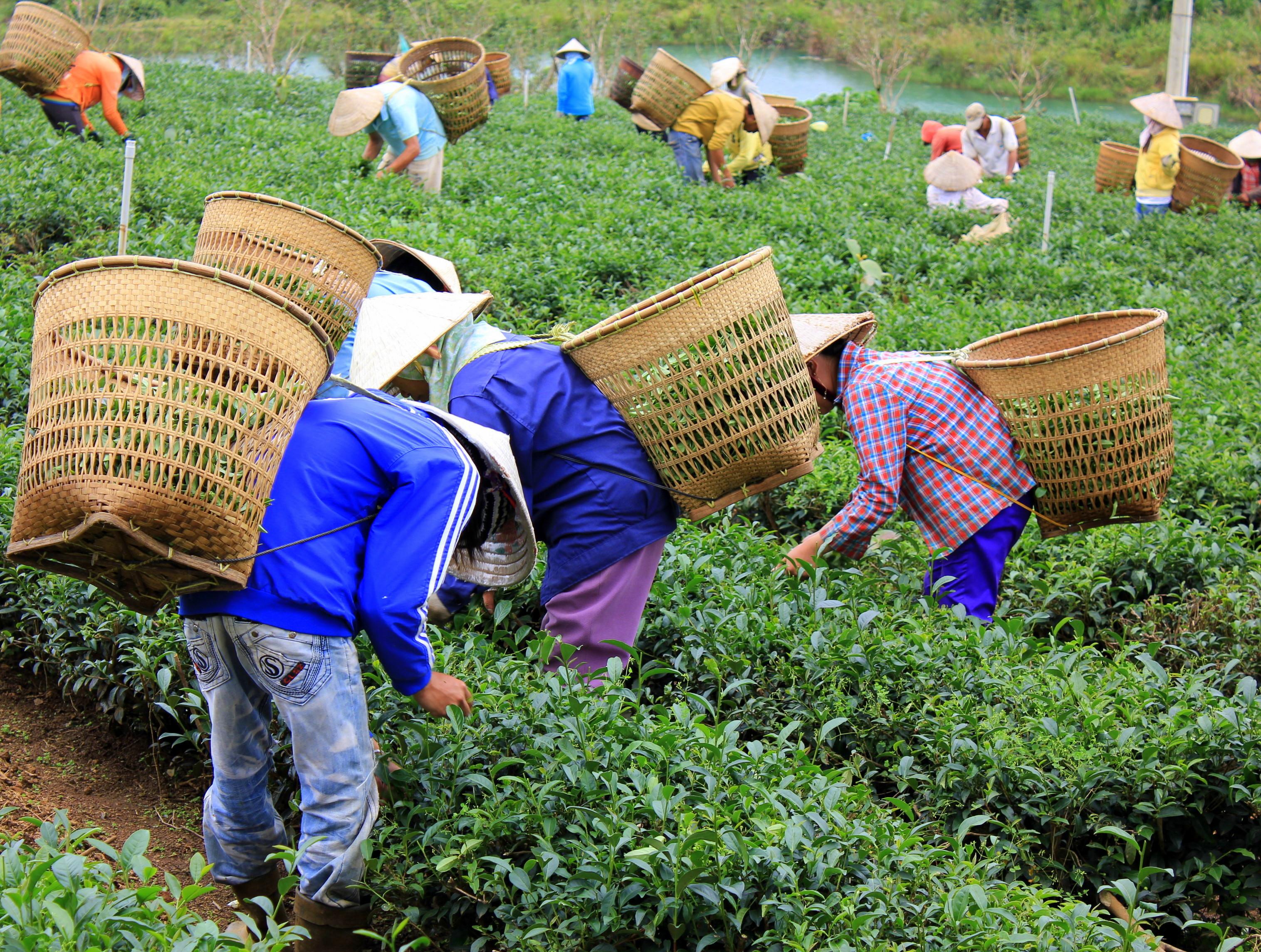 visiting a tea garden with da lat easyrider