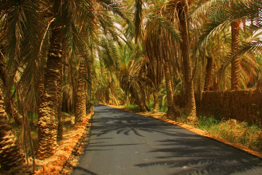 A beautiful date palm shaded bahariya oasis