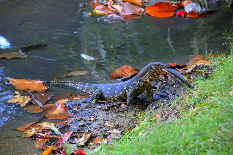 One of the water snakes of the Kandy Lake