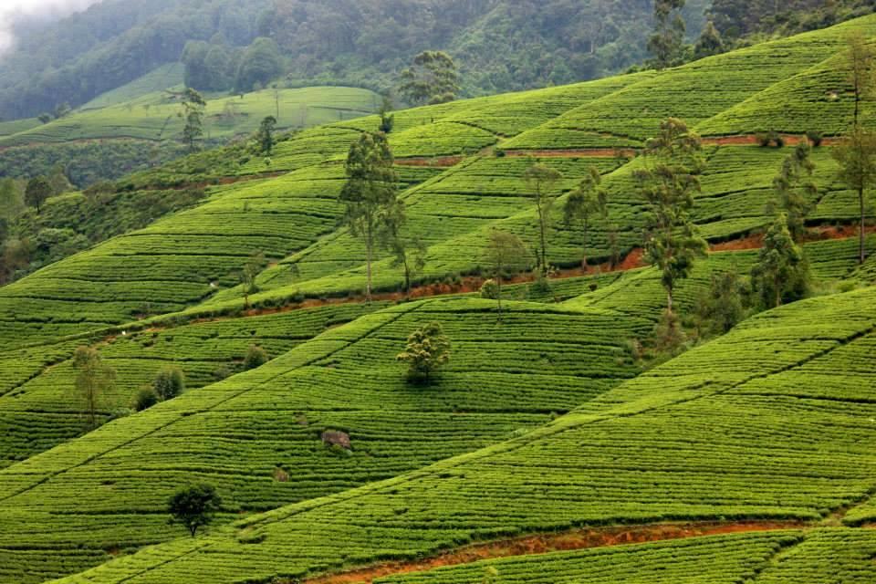 tea gardens of sri lanka