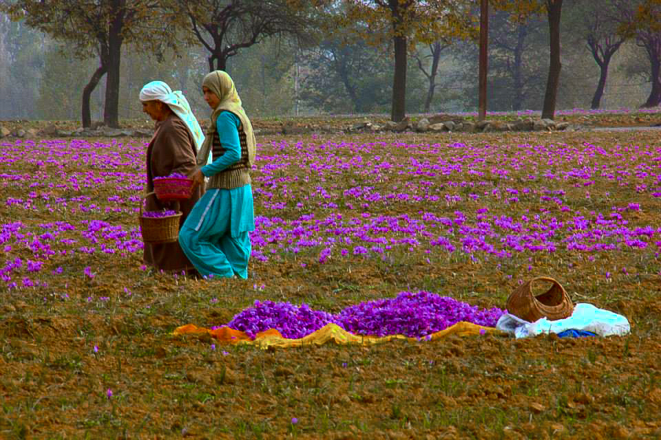 Saffron fields of Pampore bloom in autumn