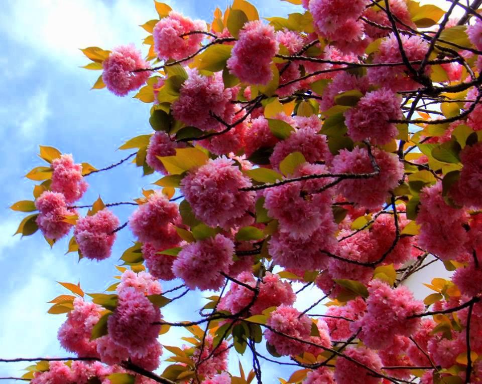 badamwari spring flowera